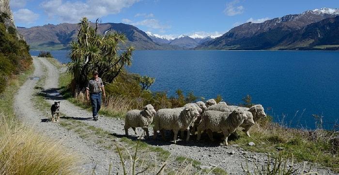 自然の中の羊